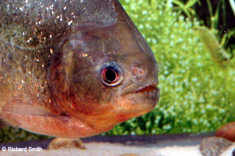 Rupert neilsen piranhas for Pictures of piranha fish