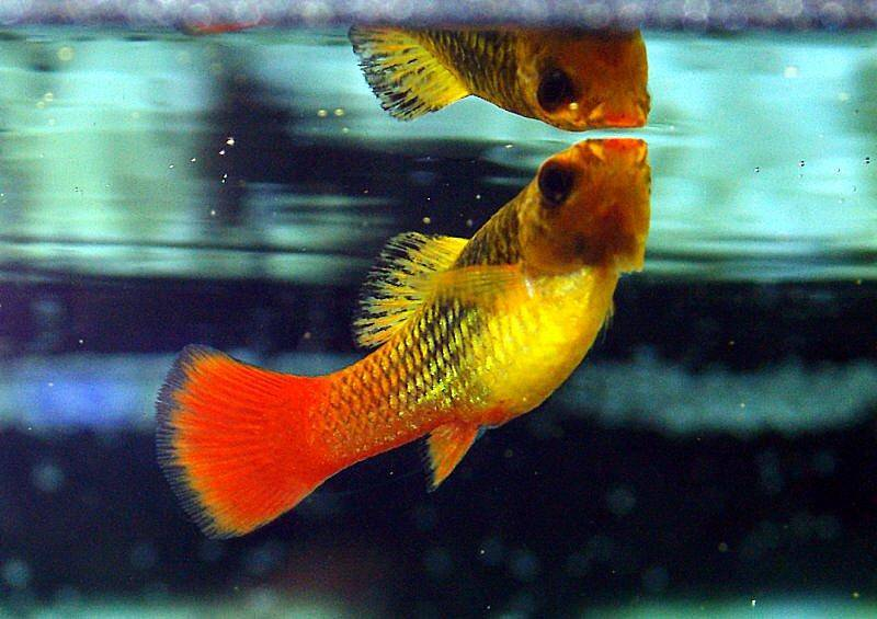 Profile of the platy fish xiphophorus maculatus for How long do fish stay pregnant