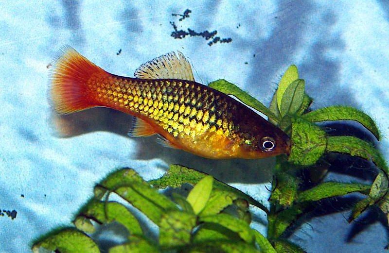 Profile of the platy fish xiphophorus maculatus for Platy fish breeding
