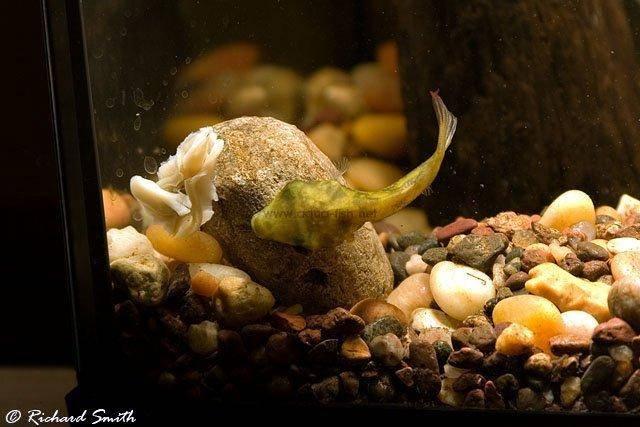 Malabar pufferfish carinotetraodon travancoricus for Puffer fish diet