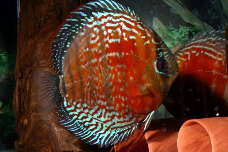 Faq and answers on raising the discus fish in aquariums for Discus fish types