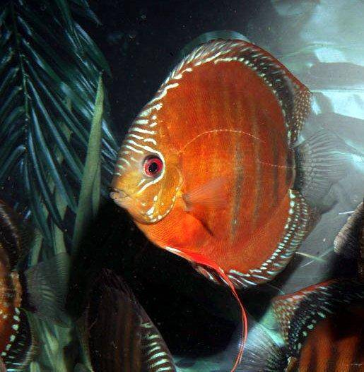 Faq and answers on raising the discus fish in aquariums for Keeping discus fish