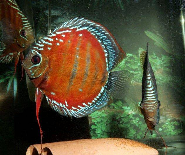 Faq and answers on raising the discus fish in aquariums for Best place to buy discus fish