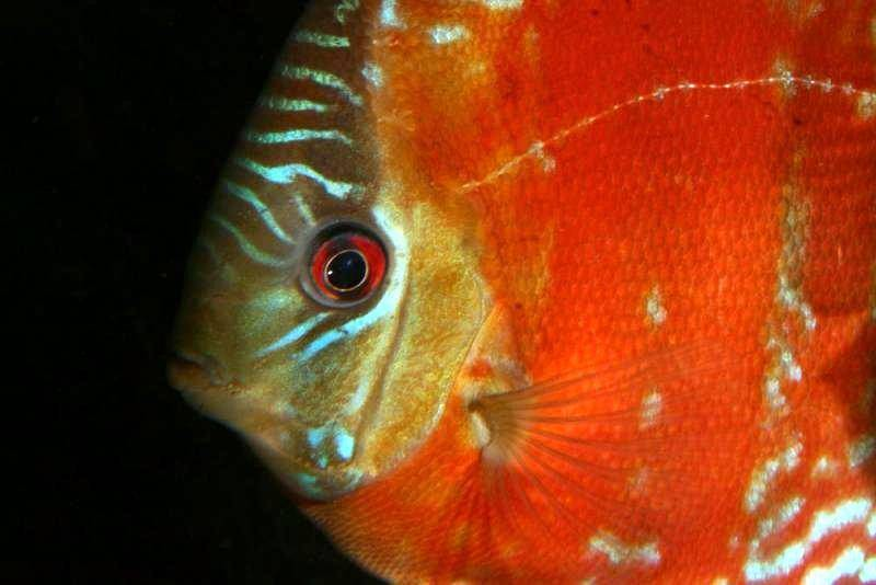 Information on keeping red discus symphysodon discus for Keeping discus fish