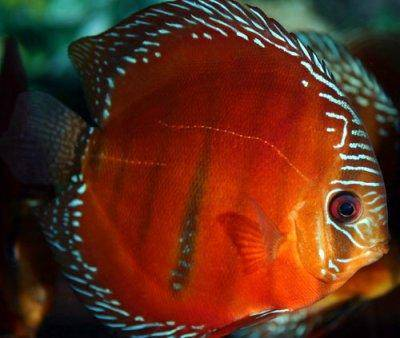 Red discus - Symphysodon discus