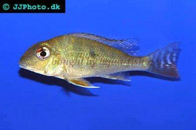 Red striped earth eater - Geophagus surinamensis