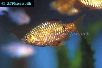 Rosy barb - Puntius conchonius
