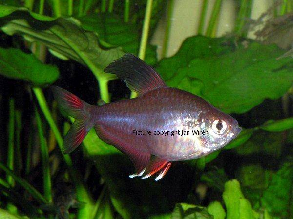 A guide on caring for and breeding rosy tetras for Fish breeding net
