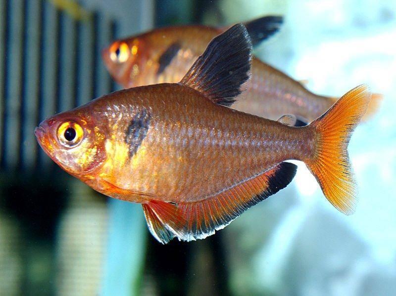 Serpae tetra, Hyphessobrycon eques — Fish, Tanks and Ponds