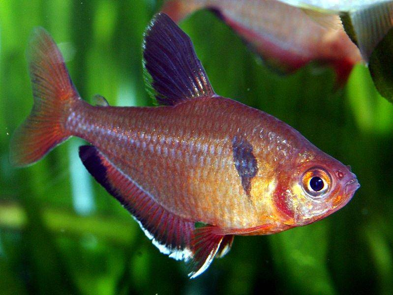 Profile of serpae tetra with images and forum for Types of tetra fish