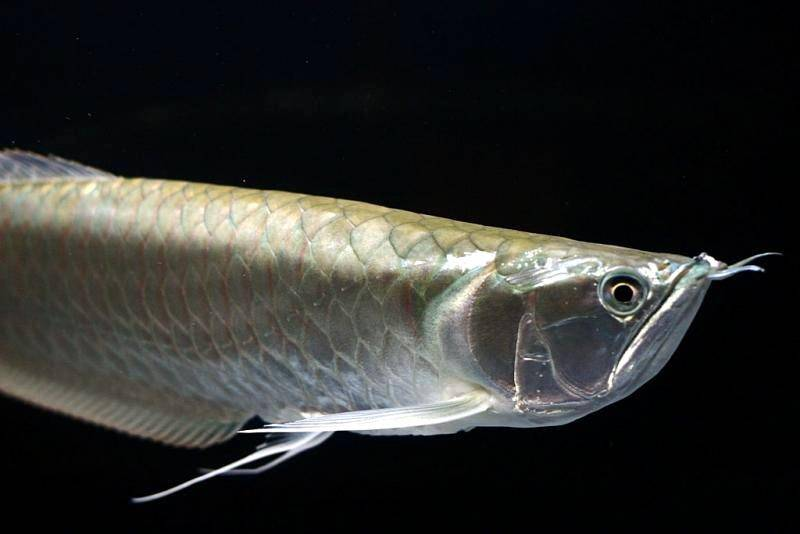 Tips on caring for the Silver arowana (Osteoglossum ...