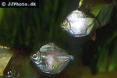 Silver dollar fish eggs - photo#30