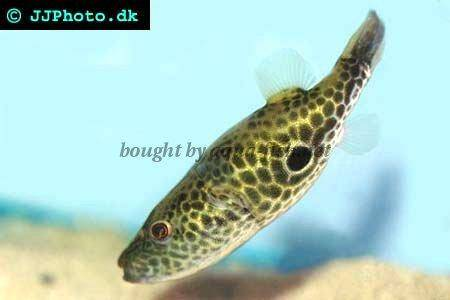 Profile Of Thai Puffer Tetraodon Barbatus