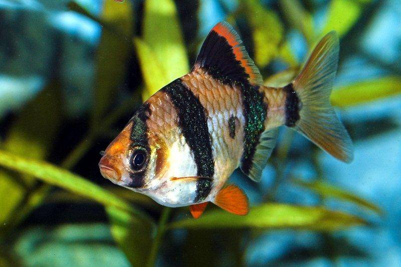 How to keep and breed barbus tetrazona the tiger barb for Tiger barb fish