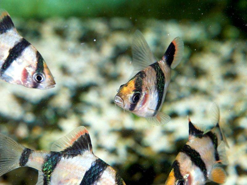 Tiger Barb : How to keep and breed Barbus Tetrazona (The Tiger Barb)