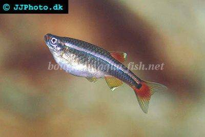 White cloud mountain minnow - Tanichthys albonubes