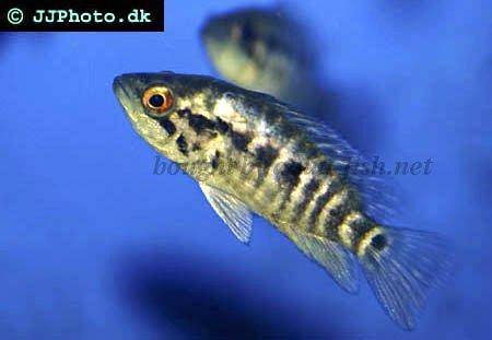 Wolf Cichlid, picture 2
