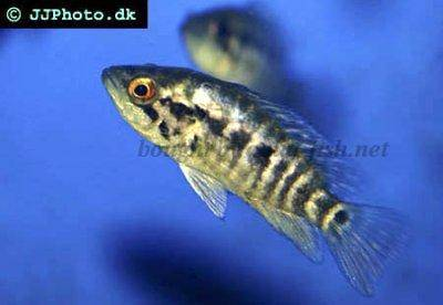 A Guide On Caring For Wolf Cichlids Parachromis Dovii