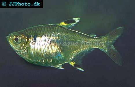 Information on keeping x ray tetras pristella maxillaris for X ray fish