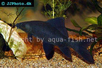 Black shark - Labeo chrysophekadion
