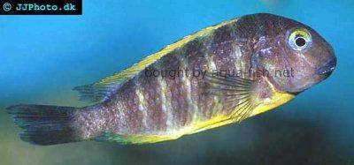 Blue eyed tropheus - Tropheus brichardi