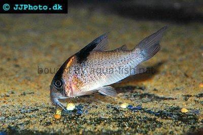 Bluespotted corydoras - Corydoras melanistius