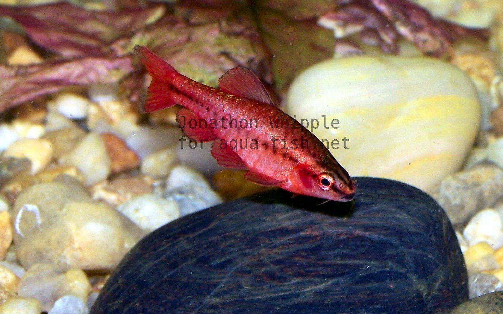 An article on caring for cherry barbs puntius titteya for Cherry barb fish