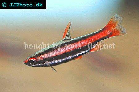 An article on caring for Coral-red dwarf pencilfish ...