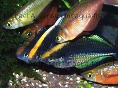 How to care for lake kutubu rainbowfish melanotaenia for Rainbow fish care