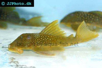 Lemon spotted green pleco - Hemiancistrus subviridis