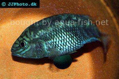 Many-pointed cichlid - Cichlasoma grammodes