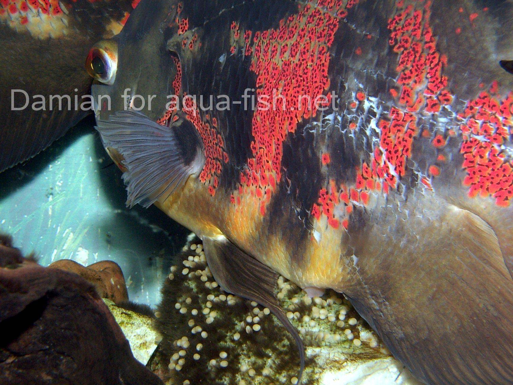 21248 Albino Sucker Fish likewise 302374562452896205 moreover YmljaGlyIGVlbA additionally Burmese pythons in florida additionally Guide Raising Breeding Oscar Fish. on oscar fish fully grown