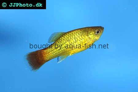Profile of the Platy fish (Xiphophorus Maculatus)