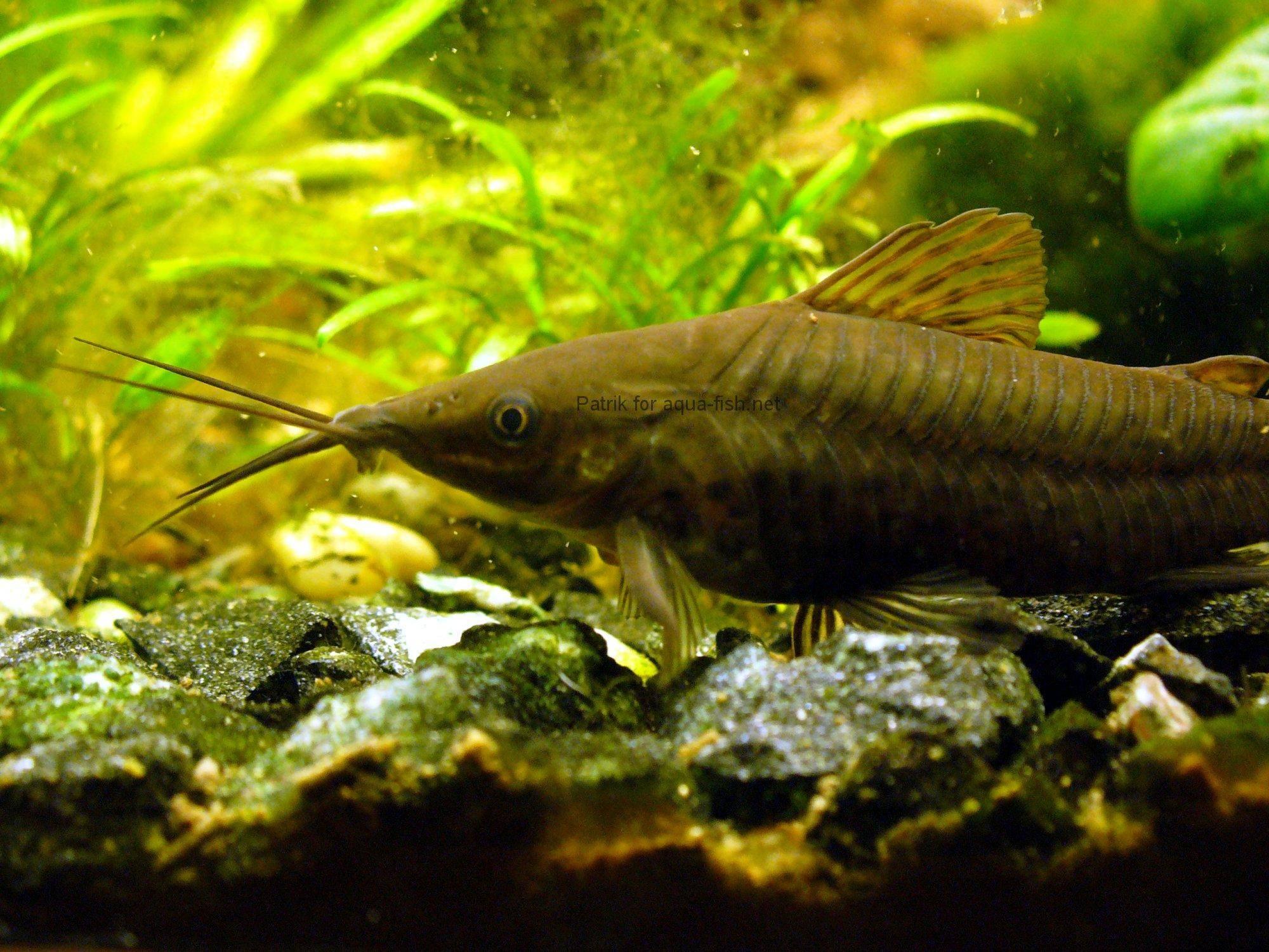How To Care For Porthole Catfish Dianema Longibarbis