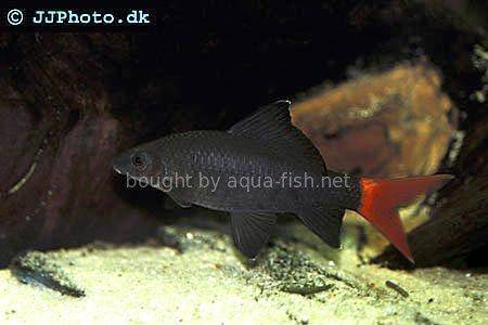 A Profile And Discussion On The Radtail Shark