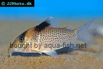 Saddle corydoras - Corydoras ephippifer