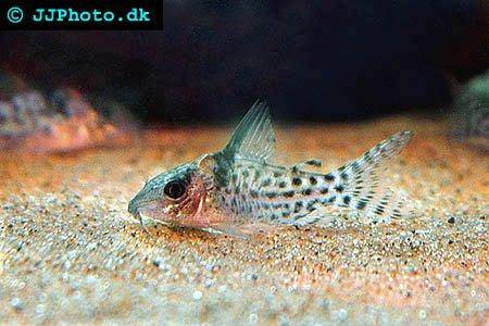 guide on keeping Agassizii?s corys (Corydoras agassizii)