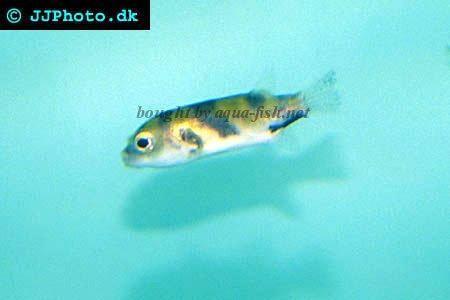 Amazon pufferfish - Colomesus asellus