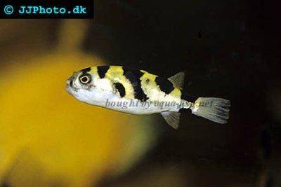 Amazon pufferfish - Colomesus asellus