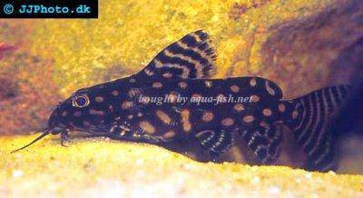 Angel squeaker - Synodontis angelicus