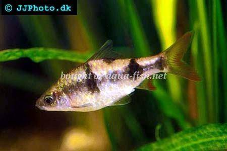 Arulius Barb Related Keywords & Suggestions - Arulius Barb Long Tail ...