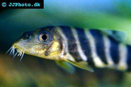 Bengal loach, picture 1