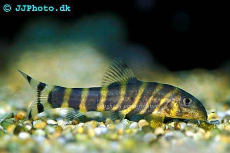 Bengal loach, picture 2