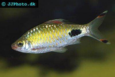 profile of Black-spot barb (Puntius filamentosus) with information ...
