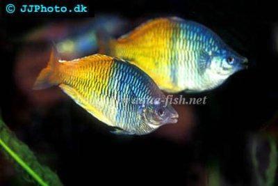 A Profile And Forum Devoted To Boesemani Rainbowfish