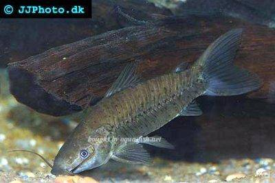 Brown hoplo - Hoplosternum littorale