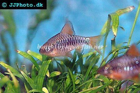 Checkered barb - Puntius oligolepis