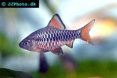 Checkered barb - Puntius oligolepis