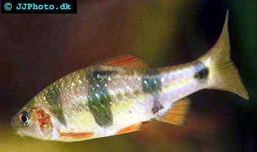 Clown barb (Puntius everetti)