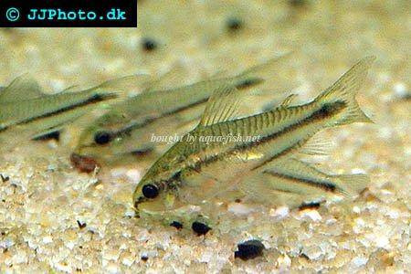 Tips and discussion on caring for Dwarf corydoras (Corydoras pygmaeus)